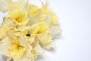 26th Feb 2020 - A bunch of daffodils