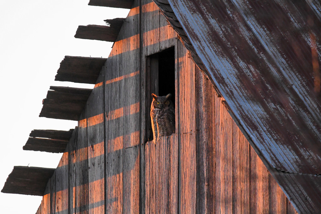 Great Horned Owl at Golden Hour by kareenking