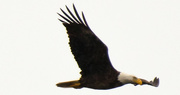 26th Feb 2020 - Bald Eagle Fly By!