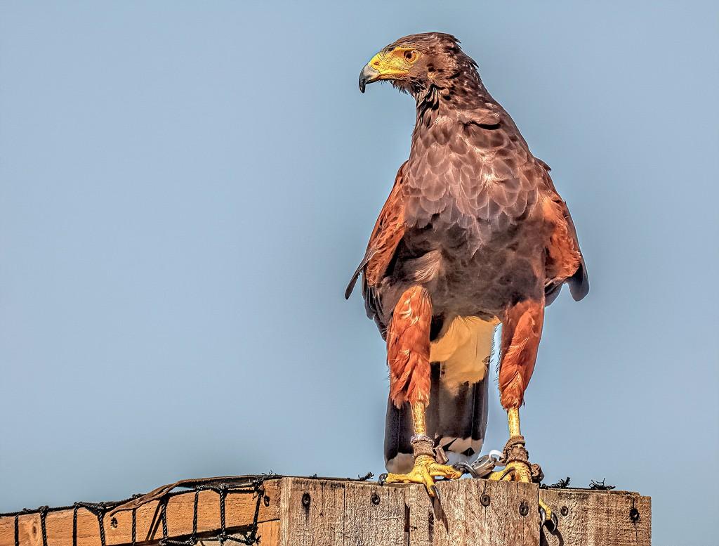 Harris Hawk by ludwigsdiana