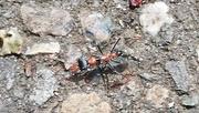 23rd Feb 2020 - Bull's ant