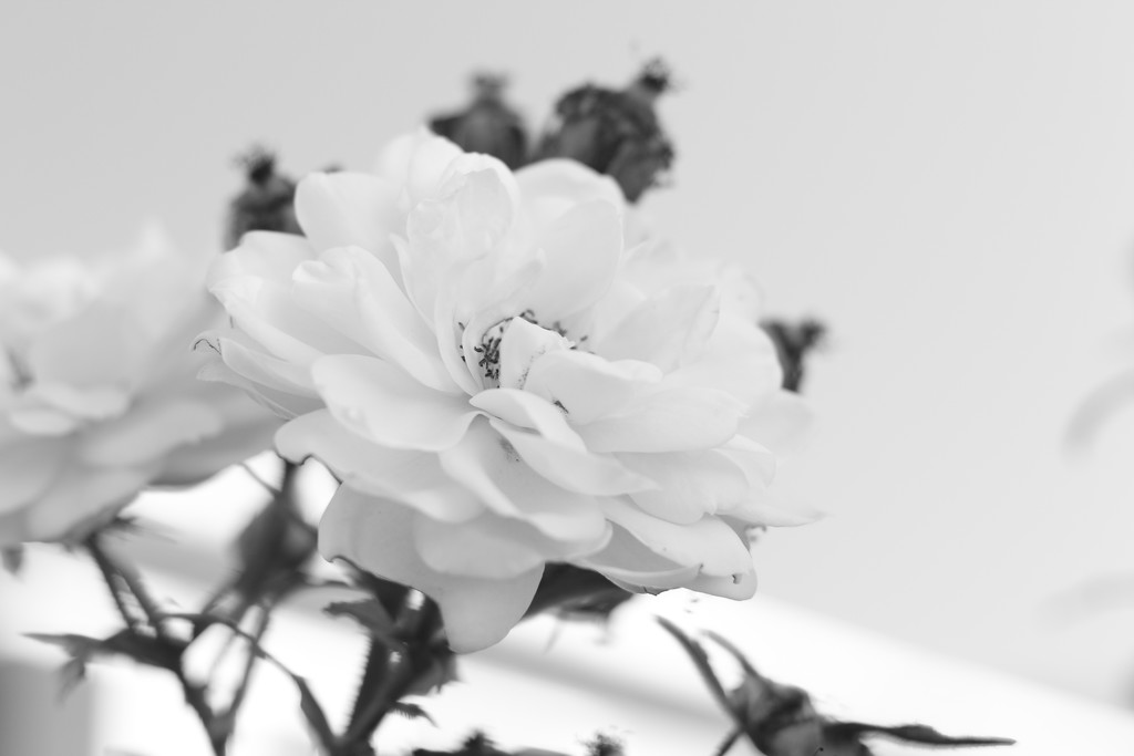 High Key rosebuds by kiwinanna