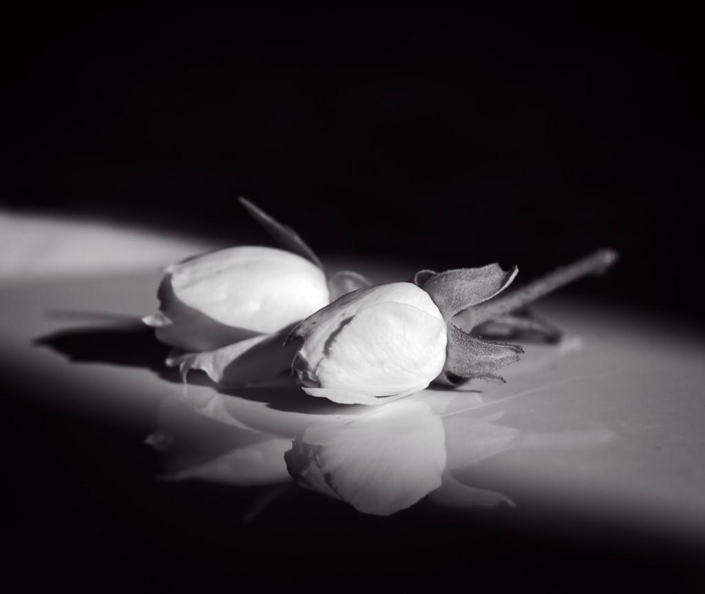 Rosebud reflections by kiwinanna