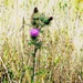The Lone Scottish (or Scotch) Thistle
