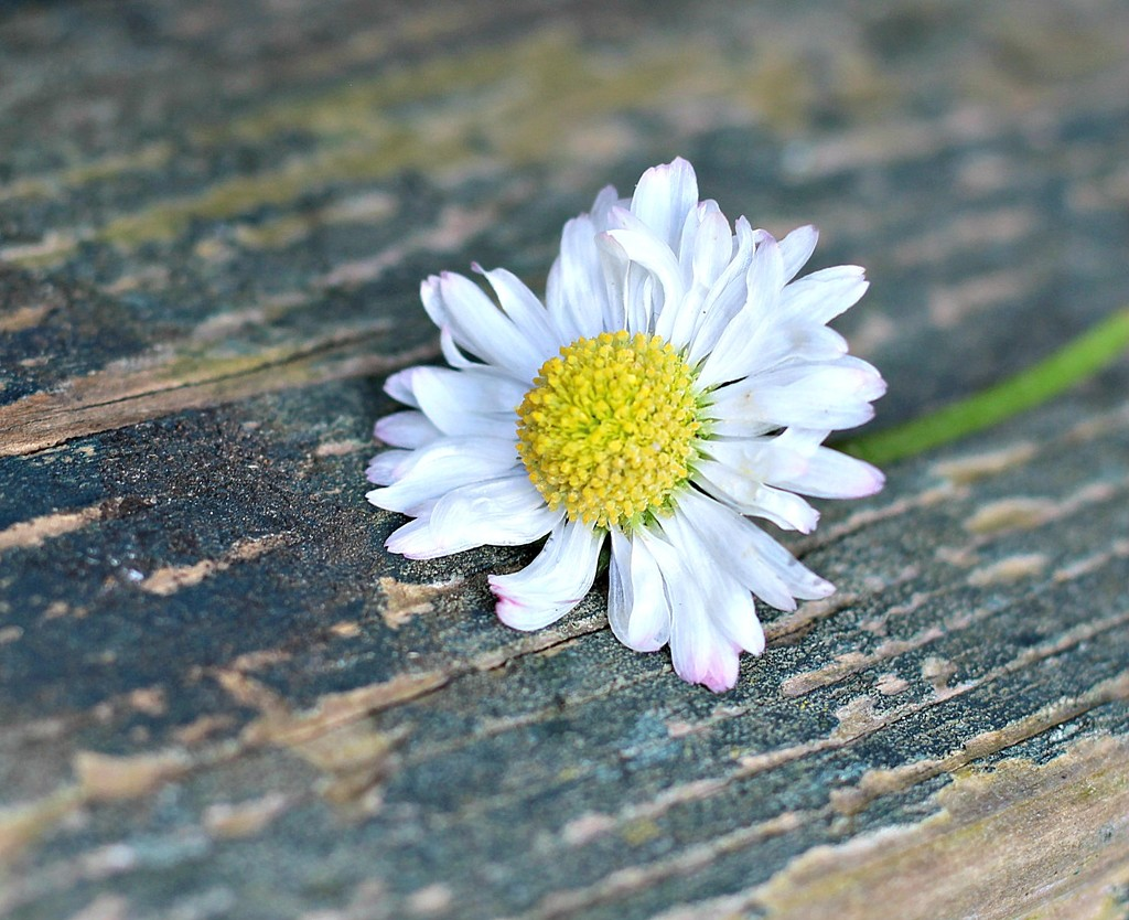 Just A Daisy. by wendyfrost