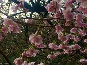 19th Feb 2020 - Japanese cherry blossom.