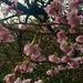Japanese cherry blossom.