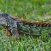 Iguana by danette