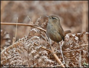 27th Feb 2020 - I saw this lovely little wren up at RSPB today