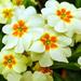 Garden Primulas.