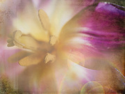 26th Feb 2020 - inside life of a tulip