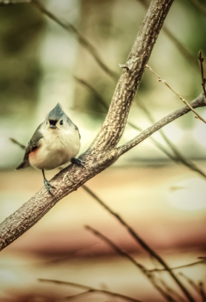 Titmouse  by mzzhope