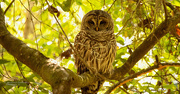 27th Feb 2020 - Barred Owl Just Hanging Out!