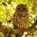 Barred Owl Just Hanging Out!