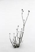 28th Feb 2020 - Rose bush in the snow