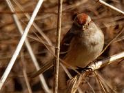 28th Feb 2020 - american tree sparrow
