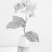 Hydrangea stem
