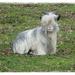 Landrace goat by gijsje