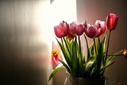 28th Feb 2020 - Tulips in a sliver of sun