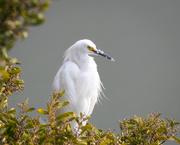 28th Feb 2020 - Snowy Egret