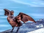29th Feb 2020 - Cormorant with an attitude