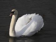 26th Feb 2020 - Swan