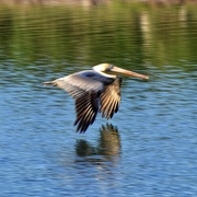 29th Feb 2020 - A male Brown Pelican, wings down