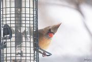 28th Feb 2020 - Peek-a-boo Cardinal!