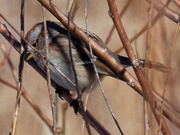 29th Feb 2020 - American tree sparrow