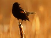 29th Feb 2020 - red-winged blackbird