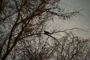 29th Feb 2020 - Silhouetted Dove