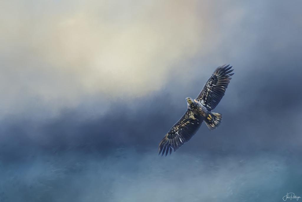 Juvenile Bald Eagle  by jgpittenger