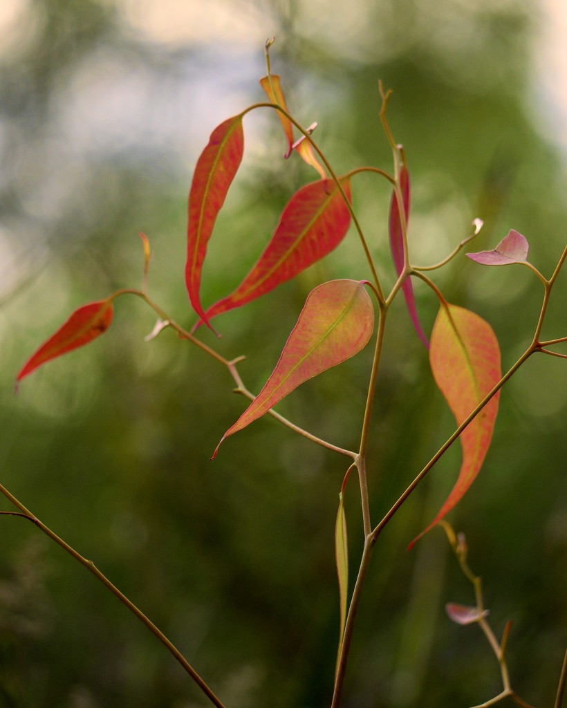 Backlit Leaves P3010620 by merrelyn
