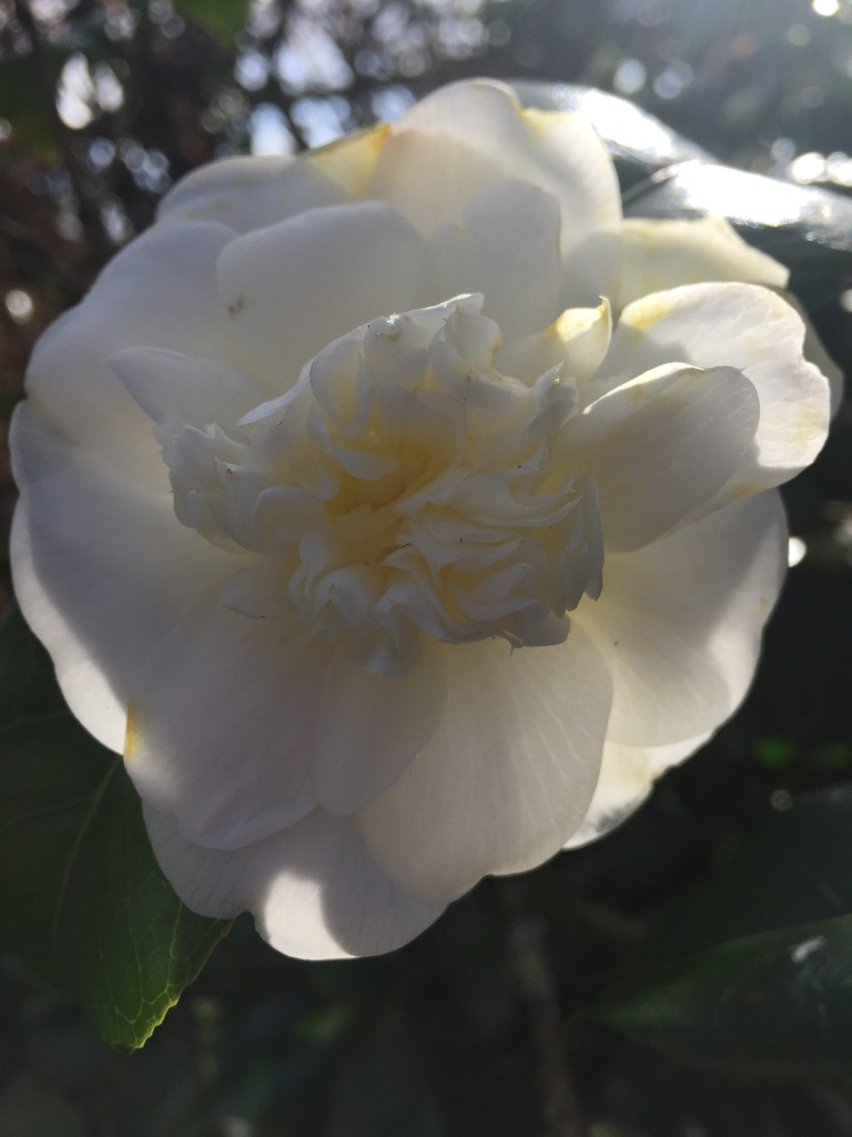 First Camelia this Spring  by snowy