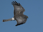 28th Feb 2020 - Northern Harrier in the Deep Blue Sky