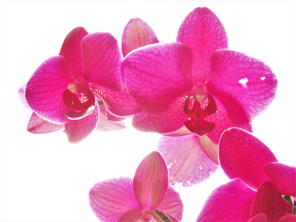 My Orchid  by radiogirl