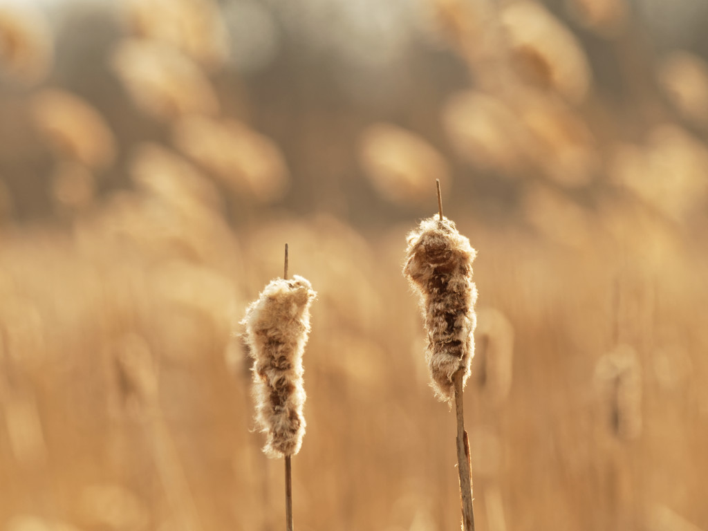 cattails by rminer