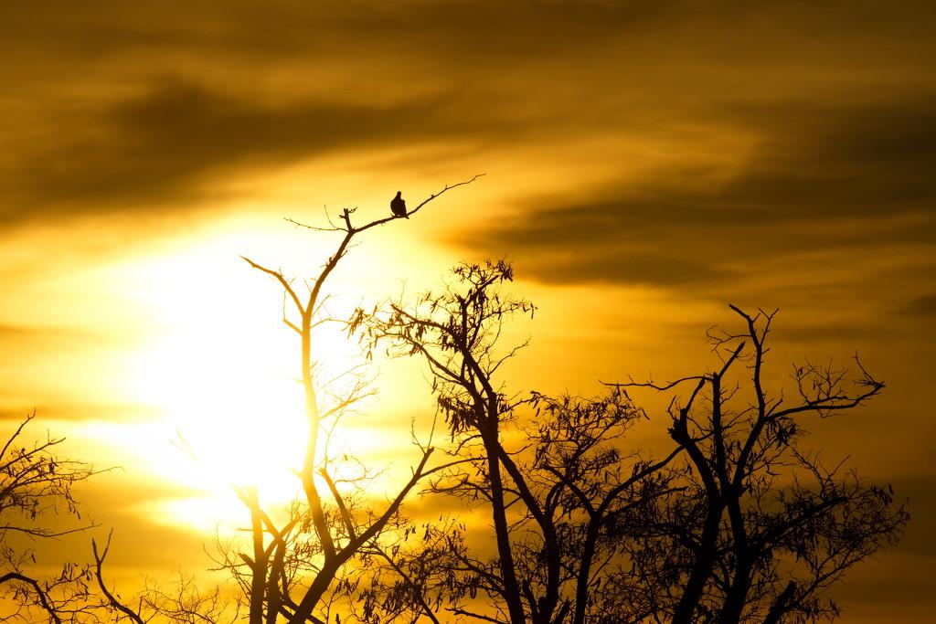 Sunset Dove by teriyakih