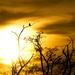 Sunset Dove