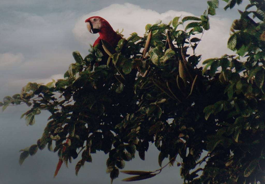 Scarlet Macaw by mzzhope