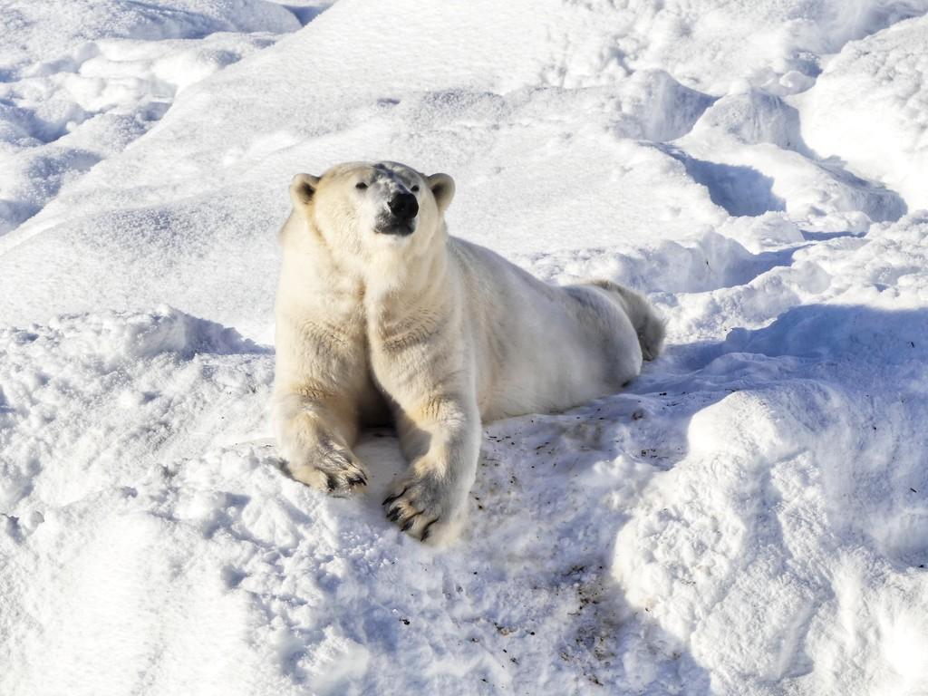 Polar Bear at Ranua Zoo by darrenboyj