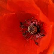 2nd Mar 2020 - bugs in a red poppy