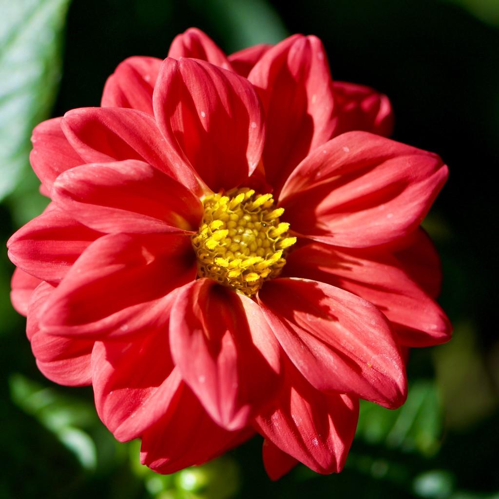 Red Dahlia _DSC9898 by merrelyn