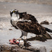 Osprey with Fresh Kill by mgmurray