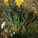 First daffodils of the year