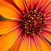 Orange Daisy by yorkshirekiwi