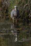 3rd Mar 2020 - White faced heron catching fish