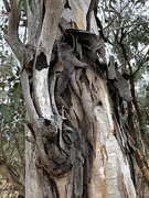 3rd Mar 2020 - tree shedding