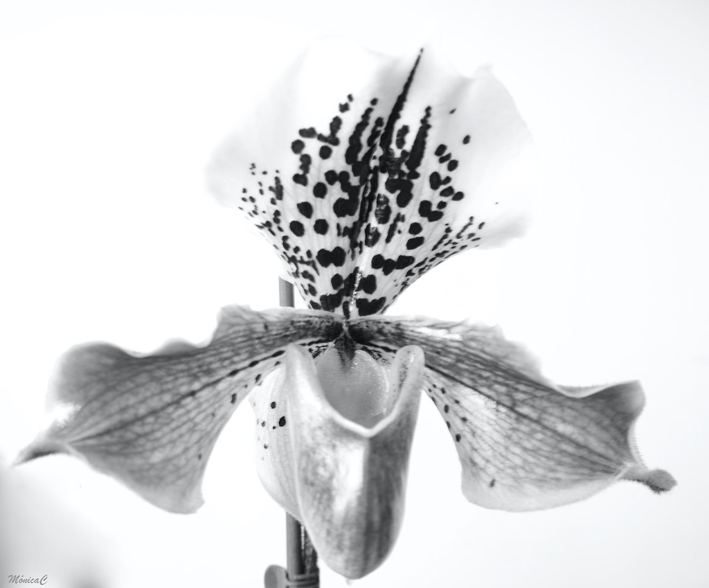 High key paphiopedilum by monicac