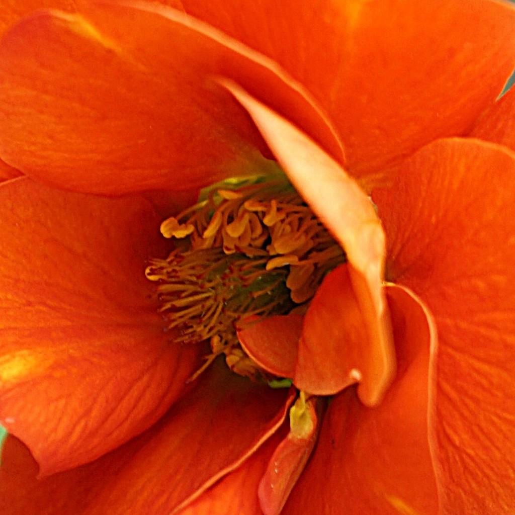 geum in orange by quietpurplehaze